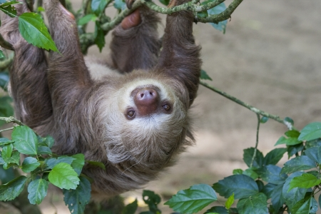 slow: Close up of a Hoffmanns two toed sloth in a tree.  Sloths have a unusually slow metabolism