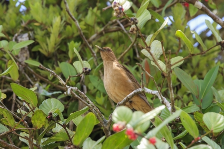 songbird: Clay-colored Thrush, Turdus grayi on a branch in Costa Rica
