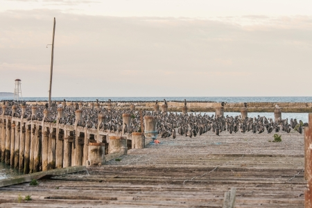 cormorants: Very large group of cormorants on a pier at sunset