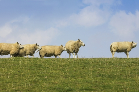 dyke: Group of sheep on dyke in summer