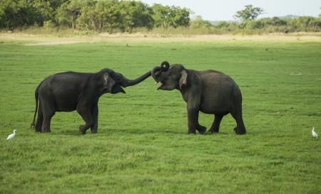 Twee jonge olifant stieren play-bestrijding door hun stammen samen te duwen