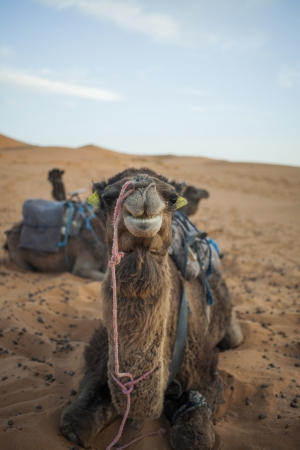 Frontal view of a camel sitting in the sand of the Sahara in Moroccco photo