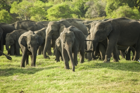 subspecies: A herd of Sri Lankan elephant (the largest of four subspecies of the Asian elephant) in the Minneriya National Park, Sri Lanka   Stock Photo