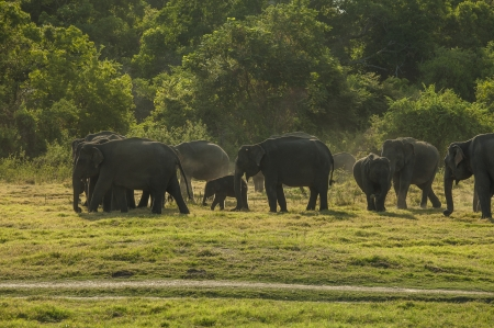 subspecies: A herd of Sri Lankan elephant  the largest of four subspecies of the Asian elephant  in the Minneriya National Park, Sri Lanka Stock Photo