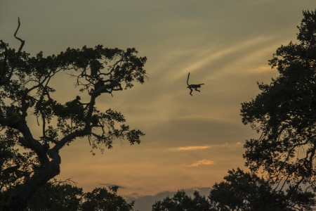 yala: Silhouette macaque monkey jumping  from tree towards tree at sunset