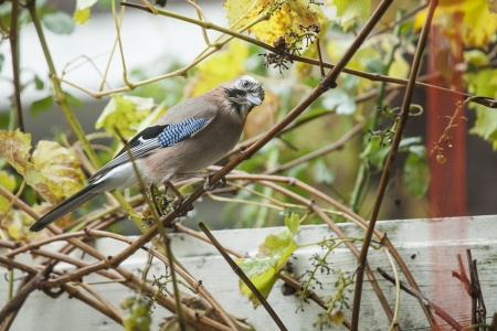 Eurasian jay sitting on a branch in the garden photo