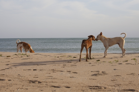 rubbing noses: Pack of stray dogs at the beach