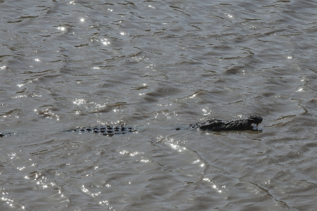mugger: Mugger or Marsh Crocodile (Crocodylus palustris) in river