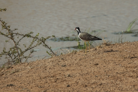 np: Red wattled lapwing on the shore of a lake in Yala NP, Sri Lanka Stock Photo