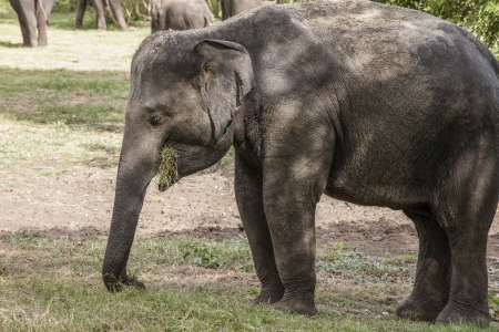 munching: Sri Lankan elephant munching grass in the Minneriya National Park, Sri Lanka