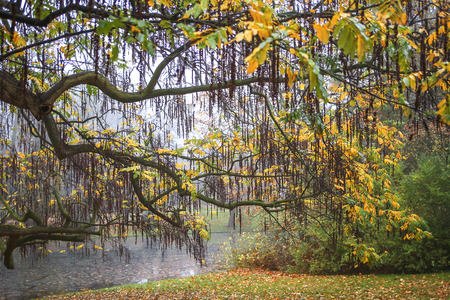 fagus grandifolia: Willow tree in autumn colors in a park