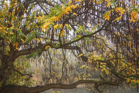 fagus grandifolia: Willow tree in autumn colors in close up