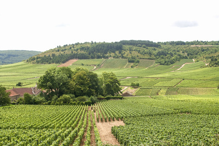 chardonnay: Rolling vineyards in burgundy, france Stock Photo