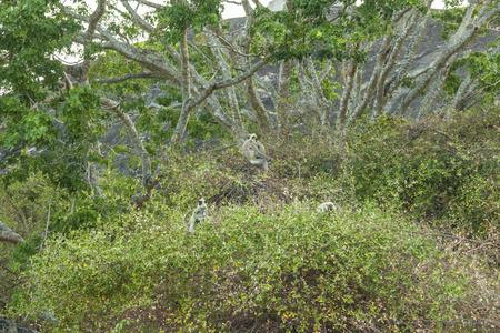 hanuman langur: Grey Langur monkeys  Semnopithecus Schistaceus  in a tree in Yala National Park, Sri Lanka