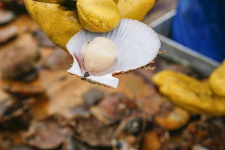 petoncle: Pétoncles fraîchement pêchés sur sa coquille offerte par le pêcheur sur son bateau