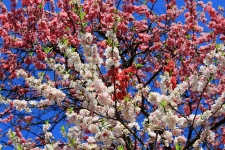 Beautiful blossoming japanese cherry trees in close up photo