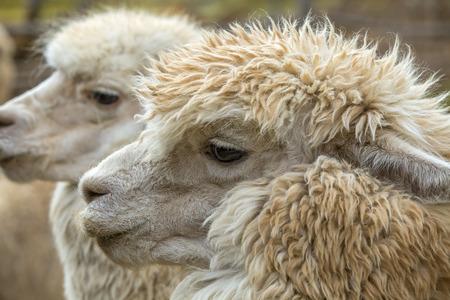 Close up of the heads of two alpacas in Peru photo