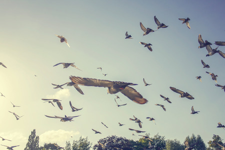 birds: flock of pigeons flying in the air away from viewer Stock Photo