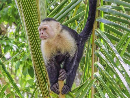 faced: White faced monkey in  palm tree Stock Photo