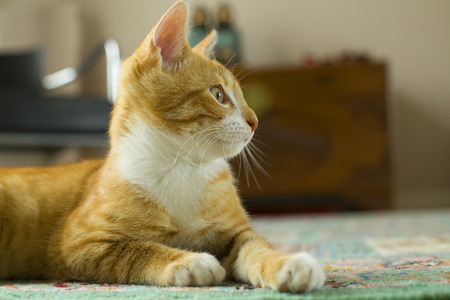 cute kittens: Beautiful profile of a red cat on a rug looking ahead Stock Photo