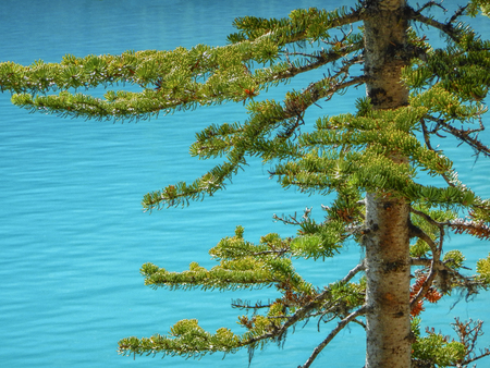 Pine tree with branches on a background of bright blue water