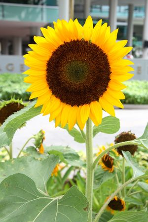 show garden: Sunflower