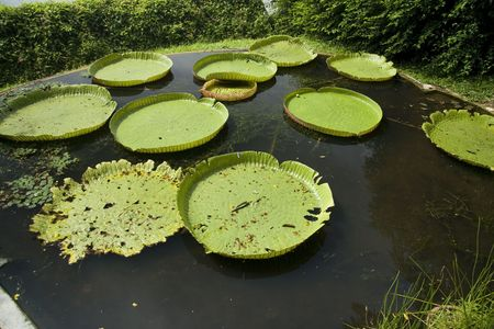 A wide shot of some circular leaf in the lotus pond. photo
