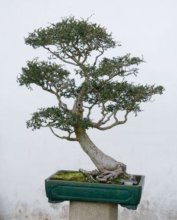A bonsai in a chinese style garden.