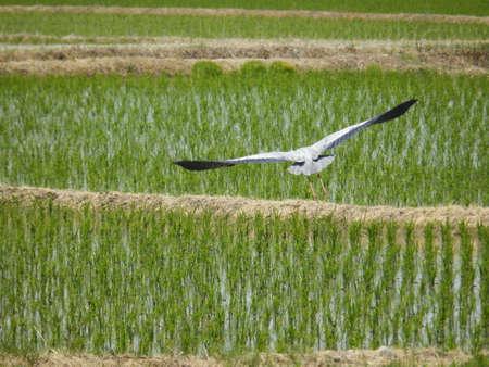 ishikawa: Rice fields and flying bird