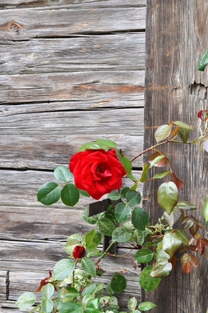 Red rose growing on ancient wooden wall. photo