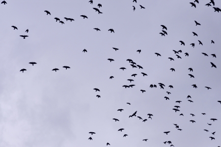 numerous: A flock of jackdaws, crows, against blue sky.
