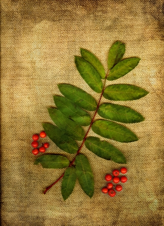 Rowanberries with green leaf in grunge. photo