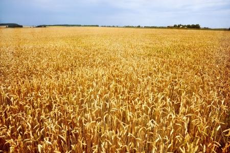 wheatfield: Golden wheat field in grunge