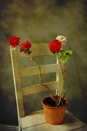 Geranium in a clay pot on an old chair, textured vintage style. photo
