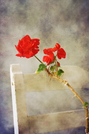 Red geranium on old vintage white chair in romantic texture. Stock Photo - 14773774