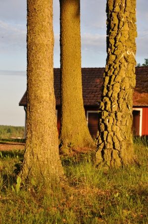 Three tree trunks with a red cottage in the background.