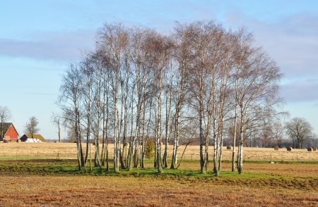 Birch growing on farmland among haycocks by a barn. photo