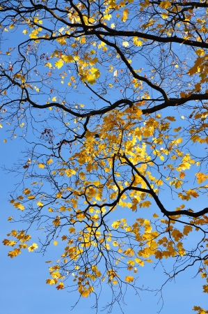 Closeup of yellow leaves in fall against blue sky photo