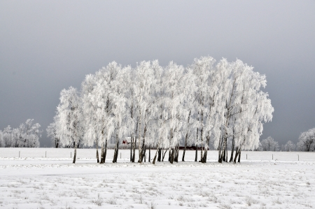 Birch tree covered in hoarfrost on a field with a red barn in the background. photo