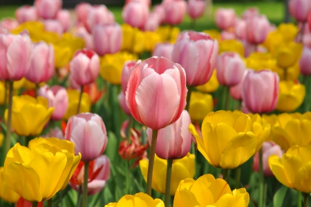 Field of pink and yellow tulips