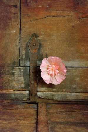 Hollyhock on vintage wooden chest with rusty hinge  photo