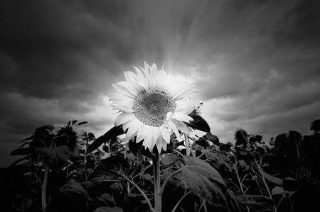 Black and white sunflowerin stormy weather. photo