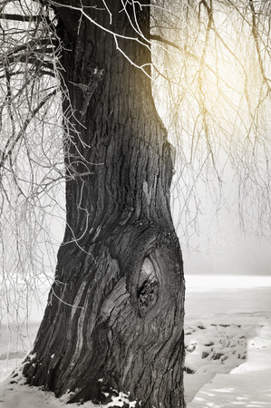 hoarfrost: Monochromatic winter image of tree trunk with sun burst through hoarfrost