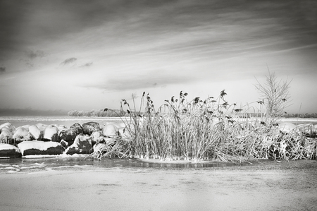 Reed by a lake in black and white