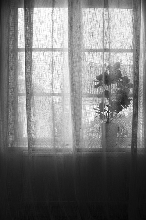 Plant in pot behind linen curtain in window, black and white. Stock Photo