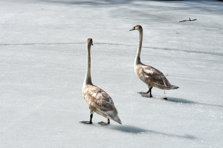 Two young swans walking on ice in early spring, chatting and pooping.