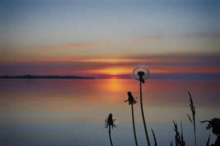 Silhouettes of dandelions by the water at sunset