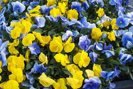 Closeup of blue and yellow summer flowers.