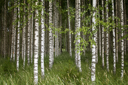 Young birch trees standing together. Stock Photo