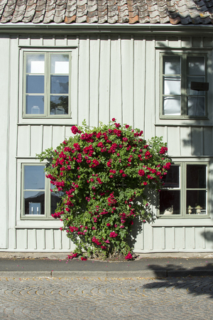 Big rose bush in the street in a small picturesque town.